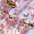 今彼氏を作るには「桜餅」や「桜湯」が効く! 春限定の恋のおまじない