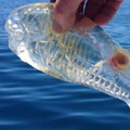 透明すぎる海洋生物!! 漁師が釣り上げた謎の生物、「サルパ」とは!?