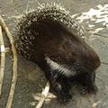 ヤマアラシが頭上に落下! 200本のトゲが刺さったブラジルの主婦の悲劇!!