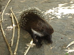 250px-Brush_tailed_porcupine_Berlin_Zoo.jpg